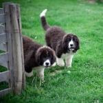 Bucovina Shepherd Dog hd photos