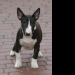 Bull Terrier Miniature high definition photo