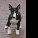 Bull Terrier Miniature high definition photo