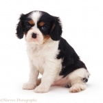 Cavalier King Charles Spaniel new wallpaper