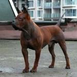 Chinese Chongqing Dog hd pics