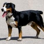 Entlebucher Mountain Dog hd pics