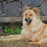Garafia Shepherd Dog new photos
