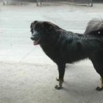 Himalayan Sheepdog hd pics