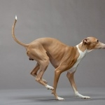 Italian Greyhound wallpapers