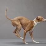 Italian Greyhound wallpapers