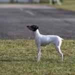 Japanese Terrier photos
