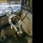 Karakachan Dog high quality wallpapers