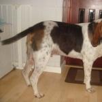 Kerry Beagle breed