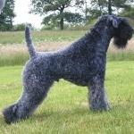 Kerry Blue Terrier hd desktop