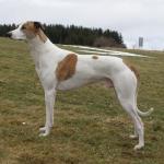 Magyar Agar breed