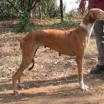Mahratta Greyhound photos
