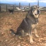 Molossus of Epirus cute