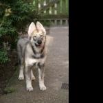 Northern Inuit Dog 1080p