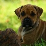 Perro de Presa Mallorquin photo