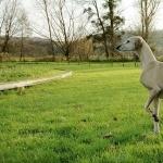 Polish Greyhound full hd