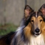 Rough Collie high quality wallpapers