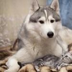 Siberian Husky images