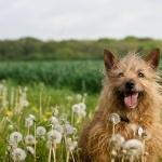 Silky Terrier image