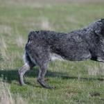 Australian Stumpy Tail Cattle Dog download