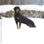 Austrian Black and Tan Hound full hd
