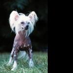 Chinese Crested Dog desktop