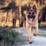 German Shepherd Dog hd wallpaper