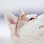 Husky new photos