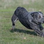 Australian Stumpy Tail Cattle Dog widescreen