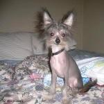 Chinese Crested Dog 2016