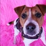 Jack Russell Terrier 2016