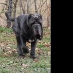 Neapolitan Mastiff new photos