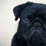 Pug pic