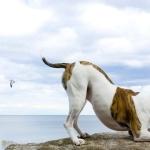 American Bulldog wallpapers for desktop