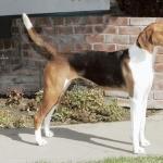 American Foxhound hd desktop