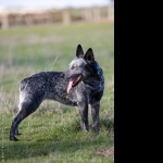 Australian Stumpy Tail Cattle Dog free wallpapers