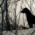 Austrian Black and Tan Hound high definition photo