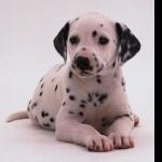 Dalmatian hd photos