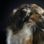 Afghan Hound high definition photo