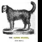 Alpine Spaniel wallpaper