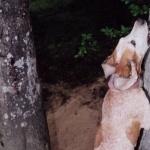 American English Coonhound hd desktop