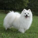 American Eskimo Dog pic