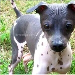 American Hairless Terrier hd