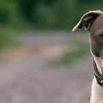 American Pit Bull Terrier desktop wallpaper