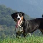 Appenzeller Sennenhund high definition wallpapers