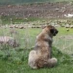 Armenian Gampr dog breed
