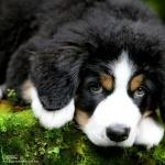 Bernese Mountain Dog pics