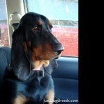 Black and Tan Coonhound 1080p