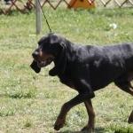 Black and Tan Virginia Foxhound pic
