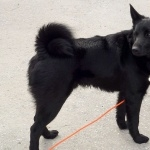 Black Norwegian Elkhound new wallpapers